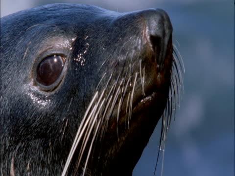 Subantarctic fur seal (Arctocephalus tropicalis) looks around, Marion Island, South Africa
