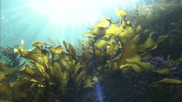 submarine forest  / diving shooting  / echizen - seaweed stock videos & royalty-free footage