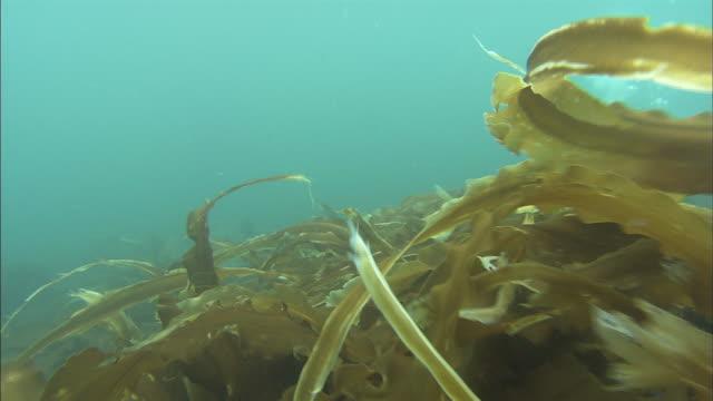 Submarine forest  / Diving Shooting  / Shiretoko / Hokkaido