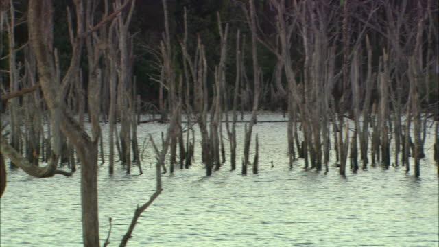 vídeos de stock, filmes e b-roll de ms, pan, submerged bare tree trunks, australia - bare tree