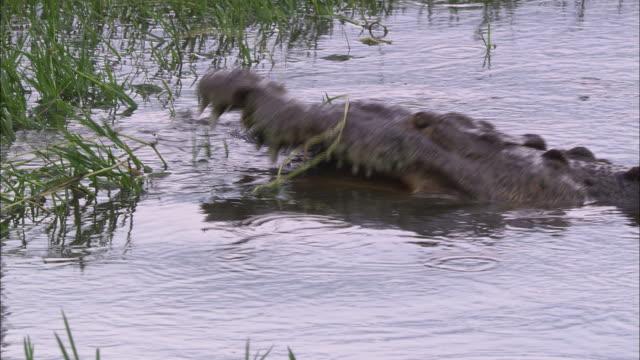 A submerged crocodile attacks prey near seagrass in a Florida swamp.