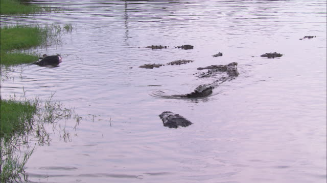 Submerged crocodiles surface near seagrass in a Florida swamp.