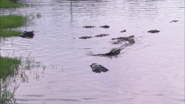 vídeos de stock e filmes b-roll de submerged crocodiles surface near seagrass in a florida swamp. - sargaço