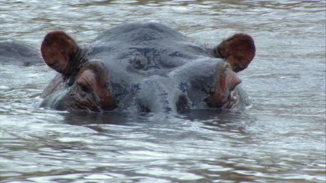 vidéos et rushes de cu submerged hippos lifting head lifting hands from  / kenya - remonter à la surface