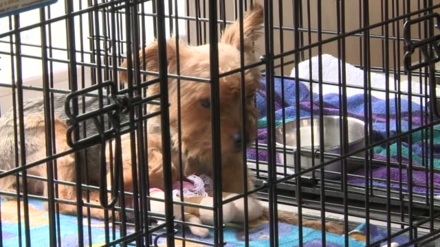 a suburban animal shelter held an adoption event after a bus crashed into the structure causing it to be unsafe yorkshire terrier in kennel at... - terrier stock-videos und b-roll-filmmaterial