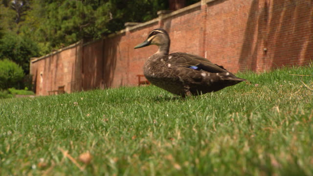 suburban park various shots of a brown black duck waddling on the grass passing a bird of paradise plant / high brick wall in background - waddling stock videos and b-roll footage