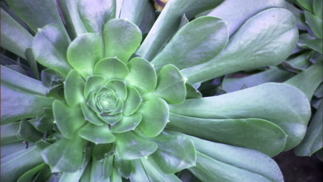 cu, succulent plant, california, usa - succulent plant stock videos & royalty-free footage