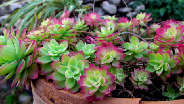 succulent plant in broken pot  - collioure - succulent stock videos & royalty-free footage