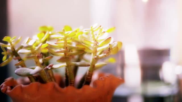 vidéos et rushes de plante en pot sur la table. - cactus pot
