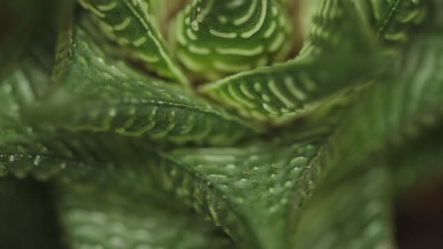 succulent plant - tropical flower stock videos & royalty-free footage