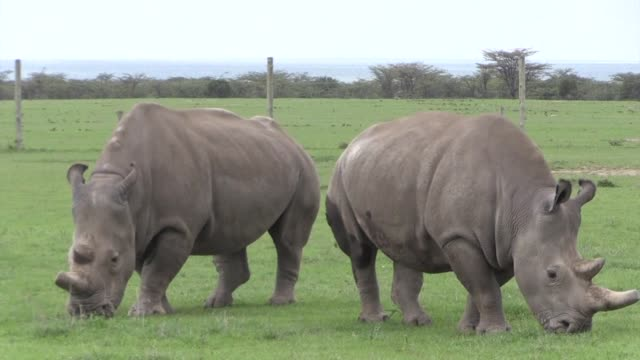 20 Northern White Rhinoceros Video Clips & Footage - Getty