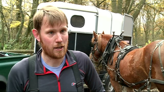 suffolk punch horse used to remove felled trees in havering country park england essex havering country park ext tree surgeon cutting down tree with... - hay background stock videos & royalty-free footage