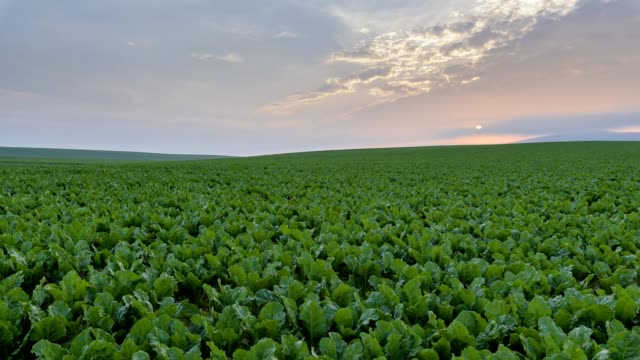 sugar beet field at sunrise - beet stock videos & royalty-free footage