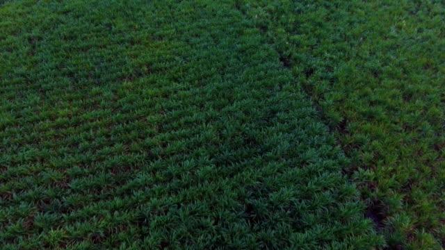 vídeos de stock e filmes b-roll de sugar cane farming  in front of mountain at dusk. - energias renovaveis