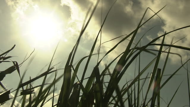 stockvideo's en b-roll-footage met sugar cane field in the sun, okinawa, japan - laag camerastandpunt