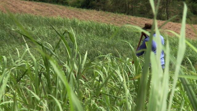 sugar cane field - sugar cane stock videos & royalty-free footage