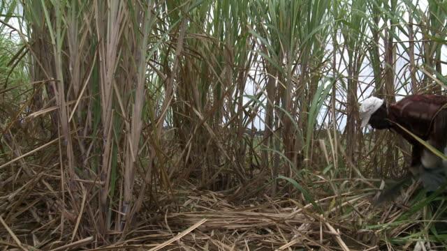 vídeos y material grabado en eventos de stock de caña de azúcar campo - antillas occidentales