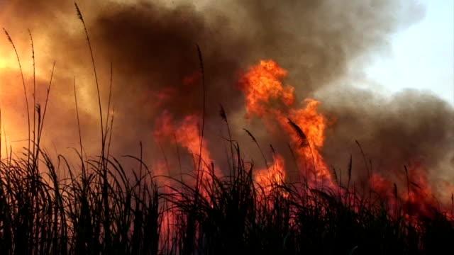 vídeos de stock, filmes e b-roll de fogo de cana de açúcar - sugar cane