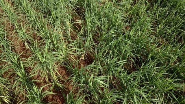 vídeos de stock, filmes e b-roll de sugar cane in the farm from above shot, thailand. - sugar cane