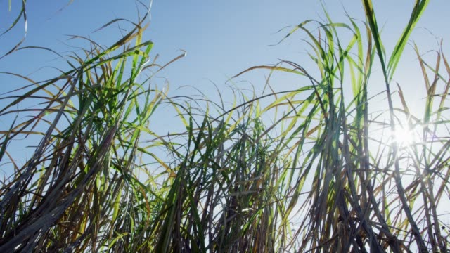 sugar cane leaves sway in the breeze under a clear, blue sky in southern louisiana - sugar cane stock videos and b-roll footage