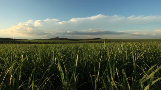 vídeos de stock e filmes b-roll de sugar cane plantation in sao paulo country side, brazil - preto