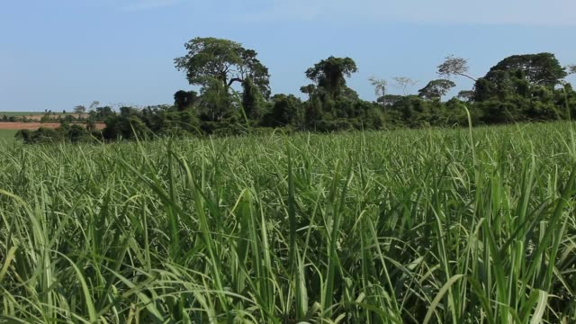 sugar cane plantation in sao paulo country side, brazil - sugar cane stock videos and b-roll footage