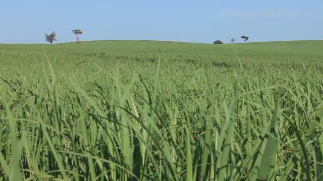 sugar cane plantation in sao paulo country side, brazil. - preto stock videos & royalty-free footage