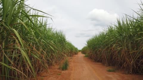 sugar cane plantation - plant stem stock videos & royalty-free footage