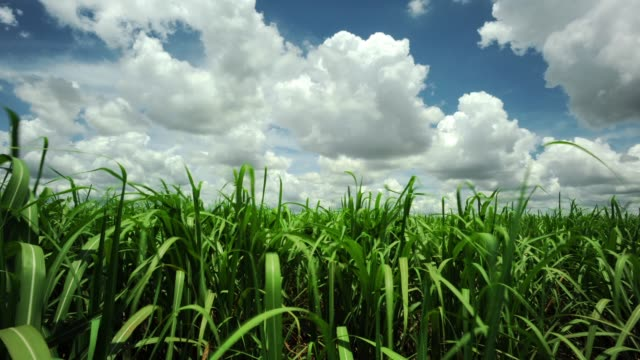 sugar cane plantation - sugar cane stock videos and b-roll footage