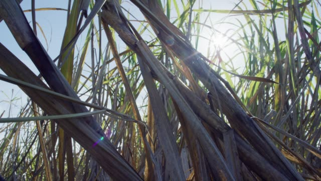 sugar cane stalks and leaves sway in the breeze under a sunny, clear, blue sky in southern louisiana - sugar cane stock videos and b-roll footage