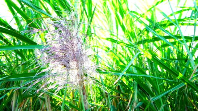 sugar canes (saccharum officinarum) in bloom - reunion island - monoculture stock videos & royalty-free footage