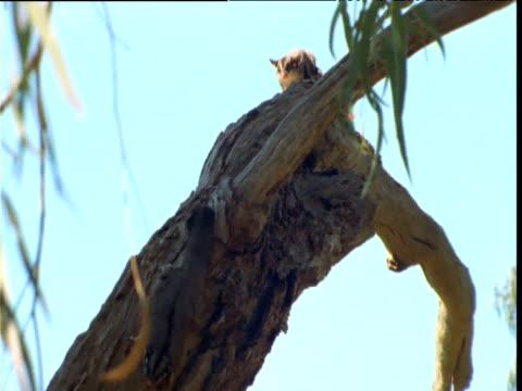 sugar glider bounds along branch and down trunk, victoria, australia - tropiskt träd bildbanksvideor och videomaterial från bakom kulisserna
