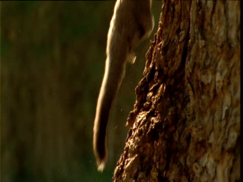 sugar glider bounds and clambers up tree trunk, victoria, australia - gliding stock videos and b-roll footage