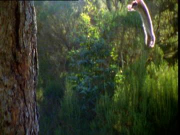 sugar glider glides in and lands on tree trunk, victoria, australia - 有袋類点の映像素材/bロール
