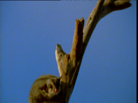 sugar glider leaps off of branch, victoria, australia - agility stock videos and b-roll footage