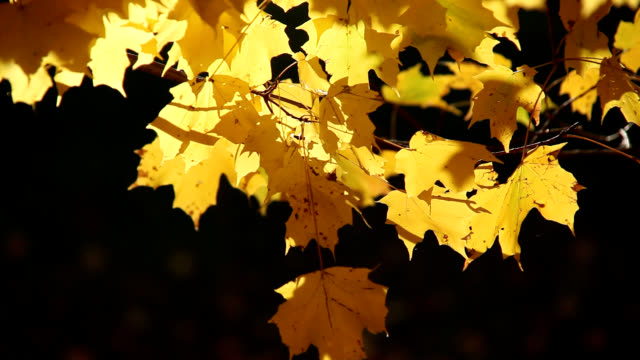 sugar maple leaves - maple stock videos & royalty-free footage