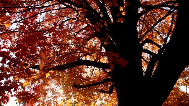 sugar maple tree - maple tree stock videos and b-roll footage