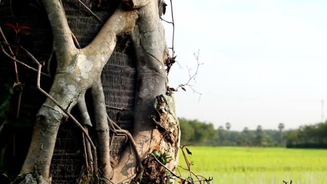 sugar palm tree - solfjäderspalm bildbanksvideor och videomaterial från bakom kulisserna