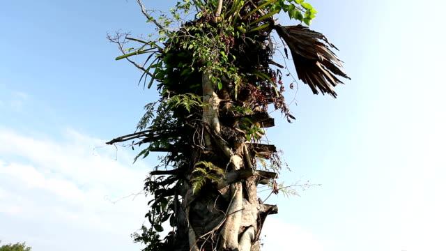 vídeos de stock, filmes e b-roll de palmeira de açúcar - fan palm tree