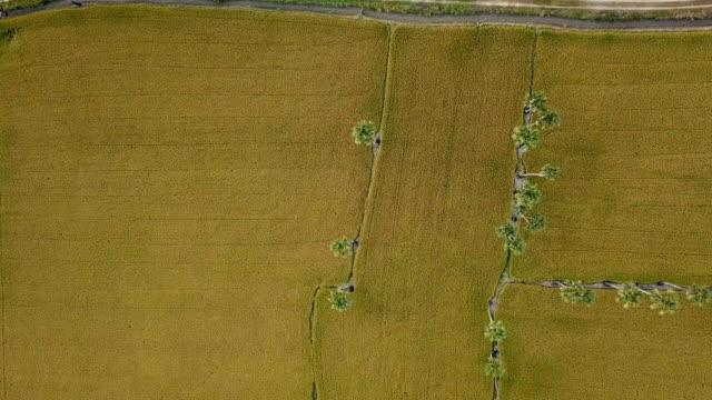 成長中の米の穀物と砂糖梅フィールドツリー - モミ点の映像素材/bロール