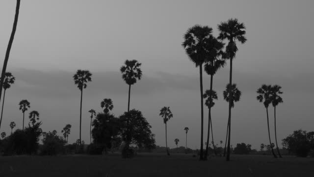 sugar plam tree on sunset,zoom motion - black and white stock videos & royalty-free footage