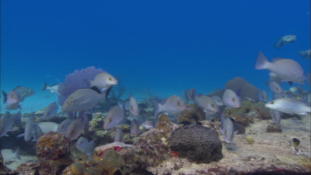 sugar wreck, grunts, puffer, bahamas  - grunt fish stock videos and b-roll footage