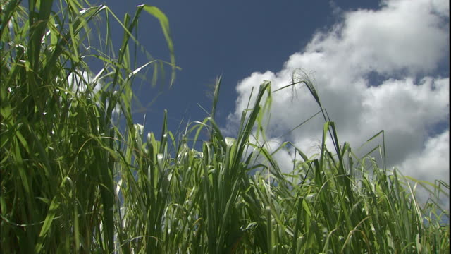 sugarcane blows in the wind in kauai, hawaii. - kauai stock videos & royalty-free footage