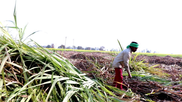 sugarcane crop harvesting - developing countries stock videos & royalty-free footage
