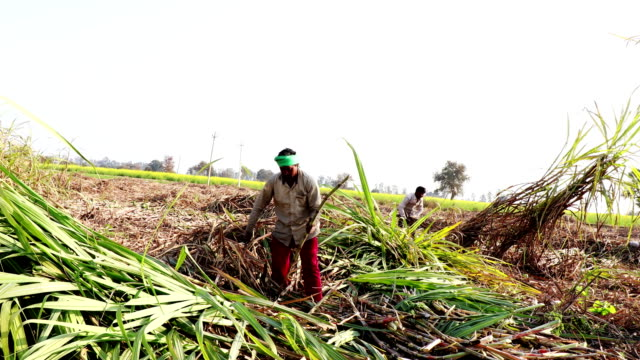 sugarcane crop harvesting - sugar cane stock videos and b-roll footage