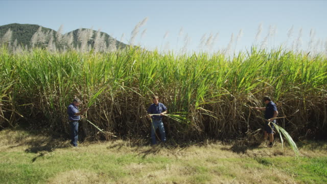 3 sugarcane farmers in queensland - sugar cane stock videos and b-roll footage