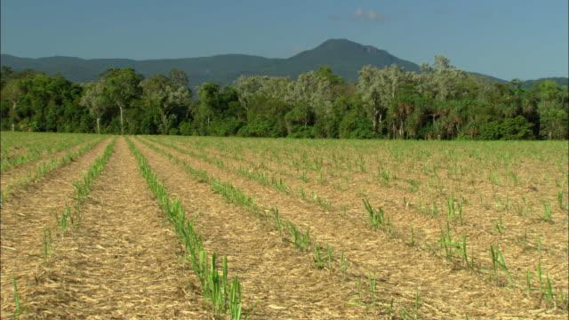 vídeos de stock, filmes e b-roll de ws sugarcane field, cairns, queensland, australia - sugar cane