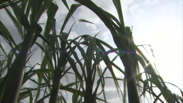 stockvideo's en b-roll-footage met sugarcane field in ishigaki island - laag camerastandpunt