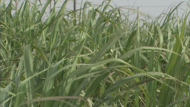 sugarcane field in ishigaki island - sugar cane stock videos and b-roll footage