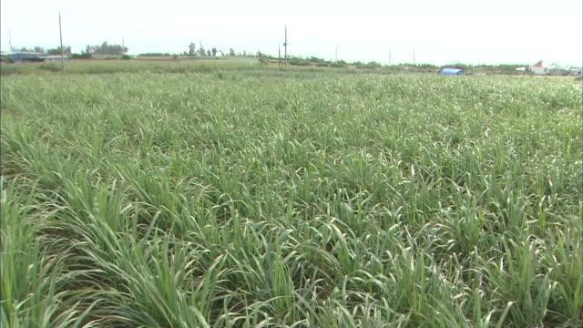 vídeos de stock, filmes e b-roll de sugarcane field in ishigaki island - sugar cane
